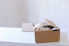 Grote Witte Cat Crawled Into The Box en Zitting binnen het Stock Foto