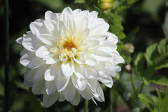Grote witte dahlia Stock Afbeelding