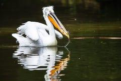 Grote witte die pelikaan ook als de oostelijke witte pelikaan wordt bekend stock fotografie