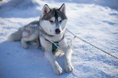 Grote witte en grijze schor leugens op de sneeuw Stock Fotografie
