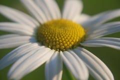 Grote witte Engelse madeliefjebloem royalty-vrije stock afbeelding