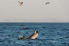 Grote Witte Haai (Carcharodon-carcharias) aanval Royalty-vrije Stock Afbeeldingen
