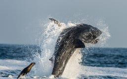 Grote Witte Haai die (Carcharodon-carcharias) in een aanval op verbinding overtreden De jacht van een Grote Witte Haai (Carcharod Stock Afbeelding
