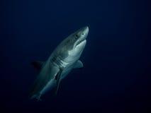 Grote witte haai die uit de diepten in de Vreedzame Oceaan te voorschijn komen Royalty-vrije Stock Foto's