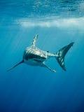 Grote witte haai fings en tanden in de blauwe oceaan Stock Fotografie