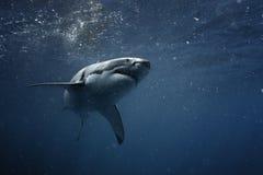 Grote witte haai onderwater Stock Foto's