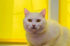 Grote witte kattenzitting dichtbij het venster met geel blind venster royalty-vrije stock afbeeldingen