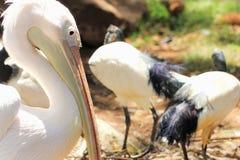 Grote witte onocrotalus van pelikaanpelecanus Stock Foto's