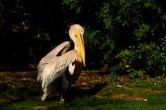 Grote witte pelikaan Royalty-vrije Stock Fotografie