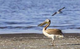 Grote witte pelikaan Stock Afbeeldingen