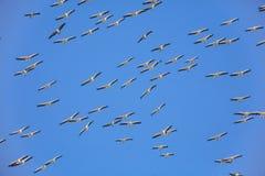 Grote witte pelikaan Royalty-vrije Stock Foto