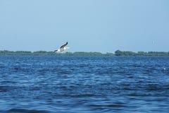 Grote witte pelikaan - Pelecanus-onocrotalus -2 Stock Fotografie