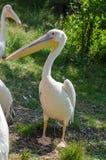 Grote witte pelikaan in Wroclaw-Dierentuin bij de zomer zonnige dag royalty-vrije stock foto