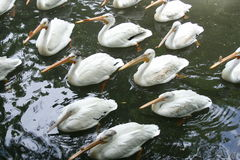 Grote Witte Pelikanen Royalty-vrije Stock Foto's