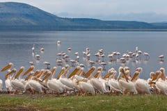 Grote witte pelikanen Royalty-vrije Stock Foto