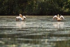 Grote Witte Pelikanen Royalty-vrije Stock Afbeeldingen
