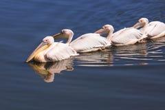 Grote Witte Pelikanen Royalty-vrije Stock Fotografie