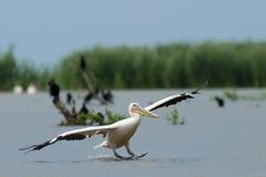 Grote Witte Pelikanen in de Delta van Donau Stock Afbeelding