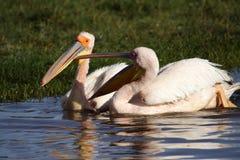 Grote witte pelikanen die een argument, Kenia hebben Royalty-vrije Stock Foto