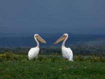 Grote Witte Pelikanen die elkaar onder ogen zien Royalty-vrije Stock Foto's