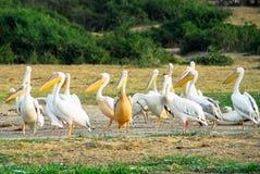Grote Witte pelikanen, Kanaal Kazinga (Oeganda) Stock Foto's