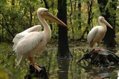 Grote witte pelikanen (onocrotalus Pelecanus) Stock Afbeelding