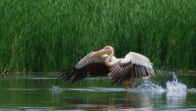 Grote witte pelikanen, onocrotalus Pelecanus Royalty-vrije Stock Afbeeldingen