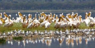 Grote Witte Pelikanen (onocrotalus Pellecanus) Royalty-vrije Stock Afbeeldingen