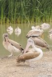 Grote Witte Pelikanen (Pelecanus-onocrotalus). Stock Afbeelding