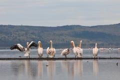 Grote witte pelikanen voor flamingo's Royalty-vrije Stock Afbeeldingen