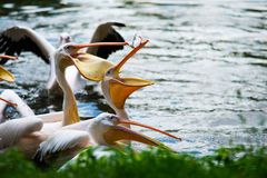 Grote Witte Pelikanen in Water Stock Afbeeldingen