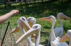 Grote witte pelikanen in Wroclaw-Dierentuin bij de zomer zonnige dag stock fotografie