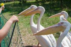 Grote witte pelikanen in Wroclaw-Dierentuin bij de zomer zonnige dag i stock afbeelding