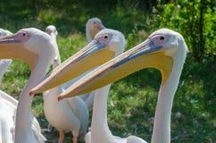 Grote witte pelikanen in Wroclaw-Dierentuin bij de zomer zonnige dag i stock afbeeldingen