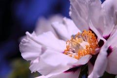 Grote witte pioenbloem Stock Foto