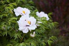 Grote witte pioenenbloei in de lentetijd Paeoniarockii royalty-vrije stock afbeeldingen