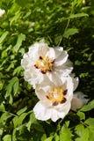 Grote witte pioenenbloei in de lentetijd Paeoniarockii stock afbeeldingen