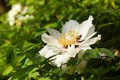 Grote witte pioenenbloei in de lentetijd Paeoniarockii royalty-vrije stock afbeelding
