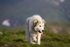 Grote witte ruwharige gekweekte slimme herdershond die alleen op steile groene grasrijke rotsachtige bergweide op zonnige de zome stock fotografie