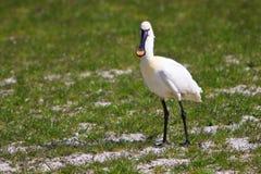 Grote witte spoonbill vogel die zich in weide bevindt stock foto