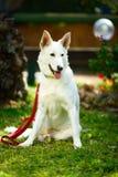 Grote witte straathond Stock Fotografie