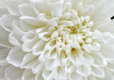 Grote witte tot bloei komende asterbloem Stock Foto's