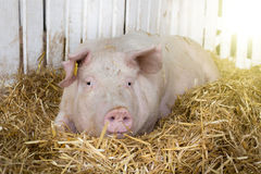 Grote witte varkens in pen Stock Afbeeldingen