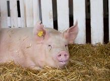Grote witte varkens in pen Royalty-vrije Stock Fotografie