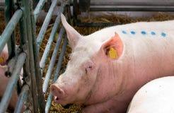 Grote witte varkens in pen Royalty-vrije Stock Afbeeldingen