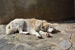 Grote witte verdwaalde hondslaap voor een muur royalty-vrije stock fotografie