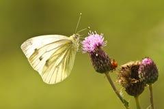 Grote Witte Vlinder Stock Fotografie