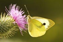 Grote Witte Vlinder Stock Foto