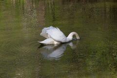 Grote witte zwaan Royalty-vrije Stock Afbeeldingen