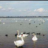 Grote witte zwanen op het water, met kleine zwarte zwanen royalty-vrije stock afbeelding
